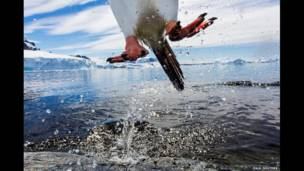 """Leaping gentoo penguin"", de Paul Souders"