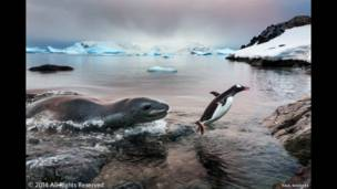Pinguino papúa y león marino.