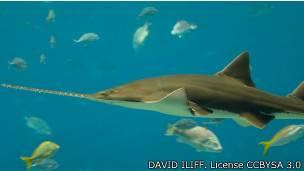 El pez sierra puede llegar a crecer hasta cuatro metros de largo.