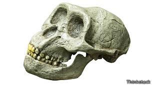Cráneo de australopitecus.