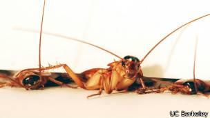 Cucarachas en grieta