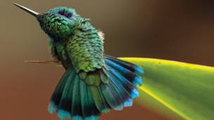 Colibrí orejas violetas