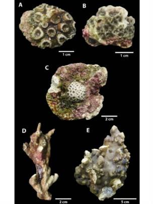 Las muestras de los corales que encontraron en el río Amazonas
