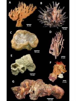 Los oceanógrafos encontraron siete variedades de esponjas, algunas de 100 kilogramos, en el arrecife de coral del río Amazonas.