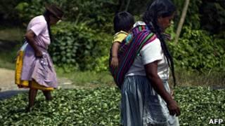 Plantación de coca