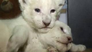 Anak singa albino