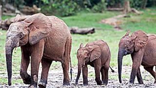 Manada de elefantes, Foto SPL