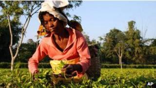pekerja_perkebunan_teh_india