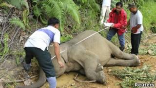 Gajah kerdil