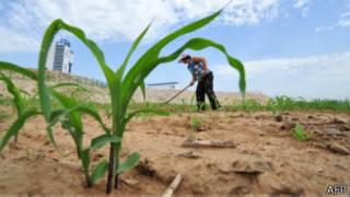 campesino cultiva en terrenos arenosos