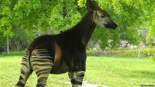 Okapi en el Zoo Metro de Miami
