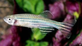 Peixe-zebra (SPL)