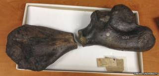 Hueso fosilizado de tortuga