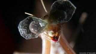 Mantis religiosa con anteojos