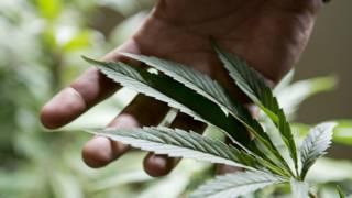 El gobierno de Uruguay espera que la venta legal de marihuana en el país comience a finales de año.