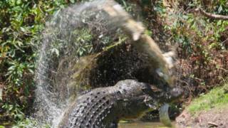 151204130546_saltwater_crocodile_attack_