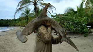 Tiburón martillo pescado en Costa Rica