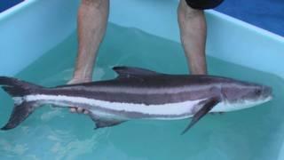 cobia fish