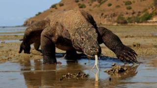 Un dragón de Komodo.