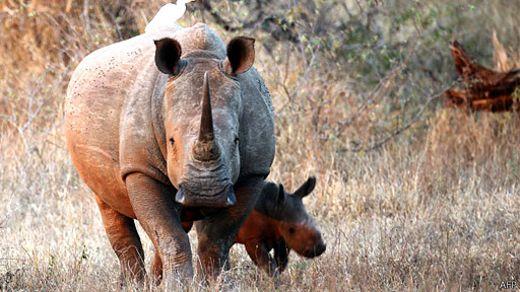Tê giác Nam Phi