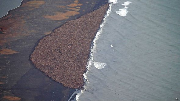 Morsas en Alaska