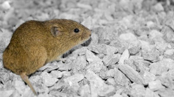 Rato do deserto