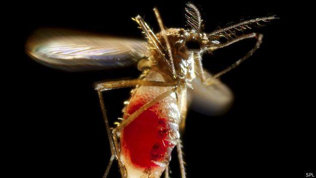 चिकनगुनिया फैलाने वाला मच्छर.