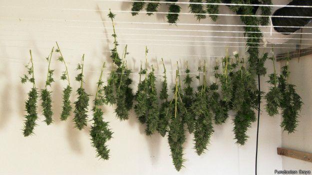 Marihuana colgando