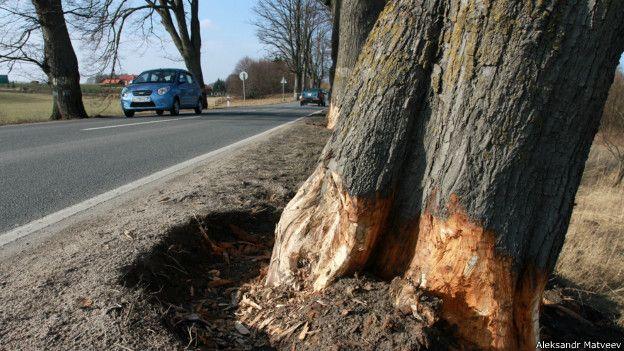 Деревья в Калининграде