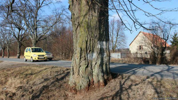 Дерево в Калининградской области