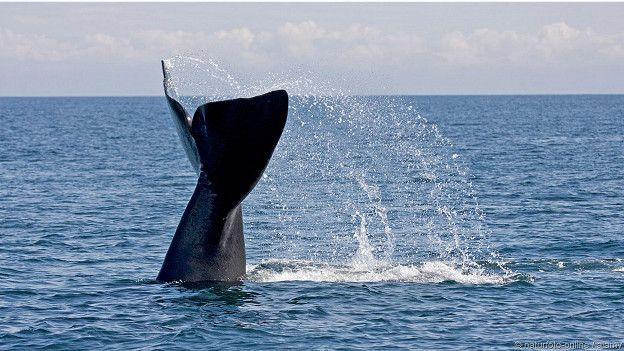 Северный гладкий кит