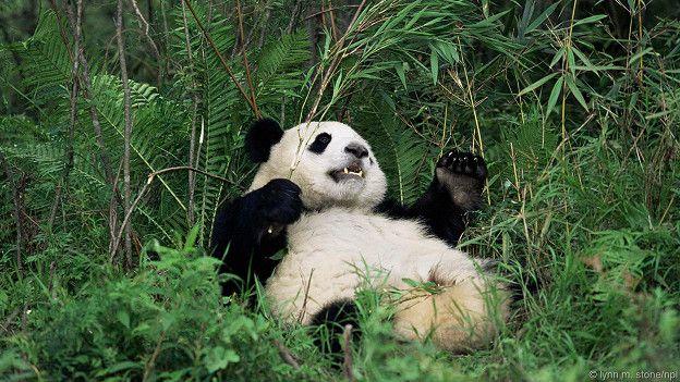 Панда животом кверху