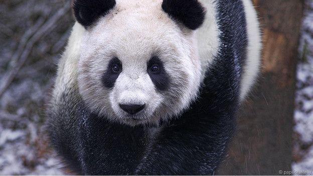 Панда на воле