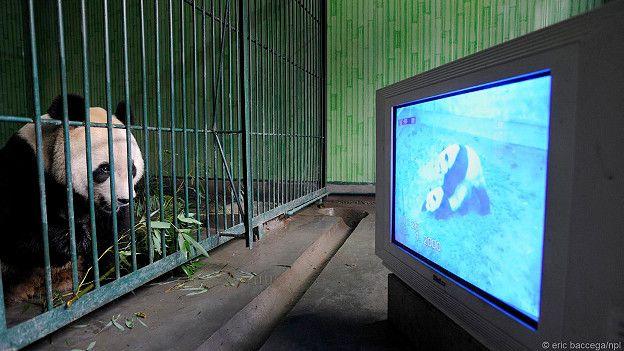 Панда в клетке смотрит порно