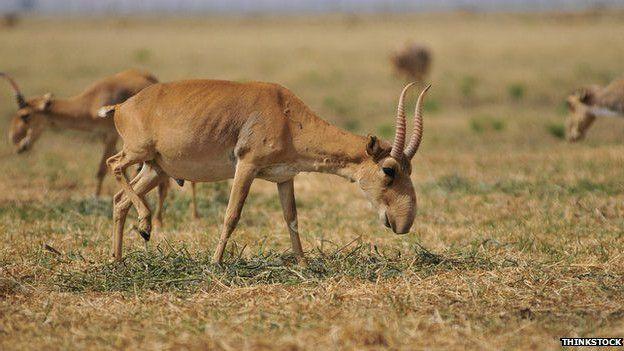 La caza redujo el número de individuos a 50.000 en la década de 1990.