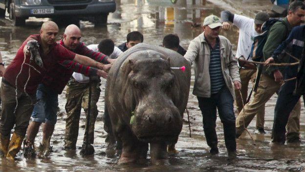 Hipopótamo en Tiflis
