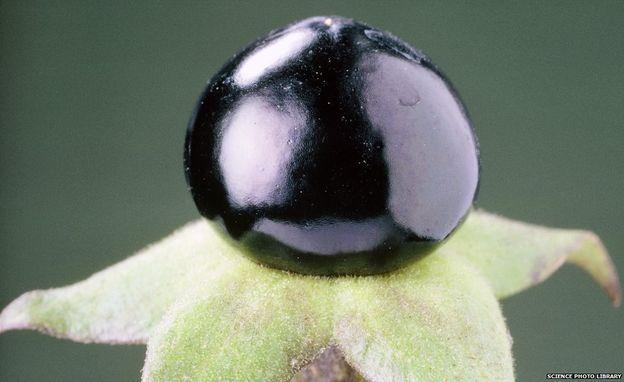 Fruta de la mortal belladona