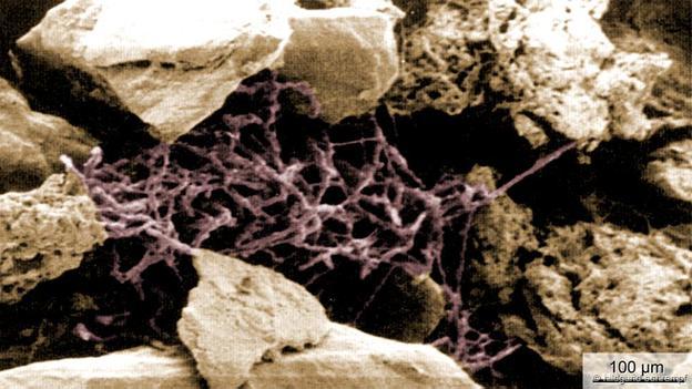 Streptomyces (foto: Hildgund Schrempf)
