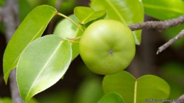 النباتات السامة الأكثر فتكا وخطورة على وجه الأرض 150824193206_earths_most_poisonous_plants__512x288_stefanopaternaalamy