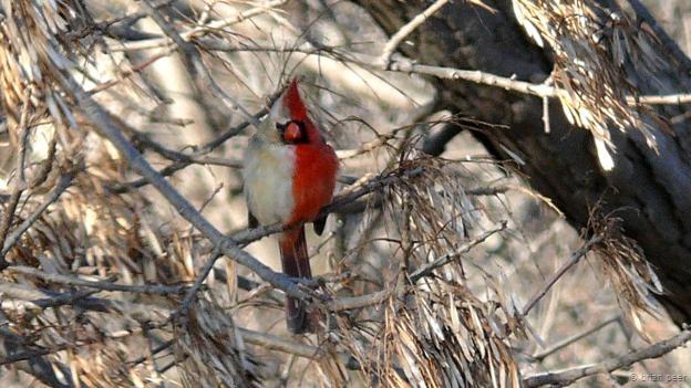 Un cardenal norteño ginandromorfo