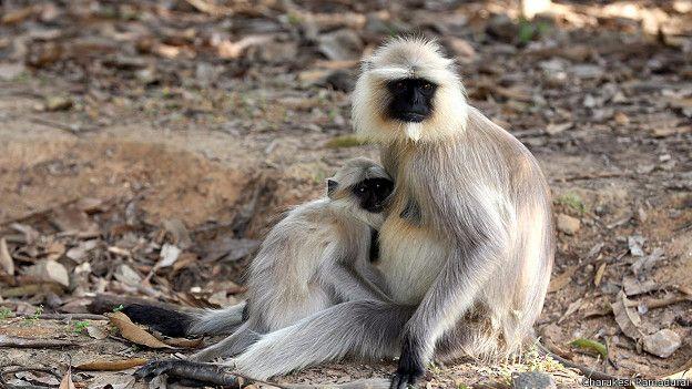 Обезьяны-лангуры в заповеднике Канха в Индии