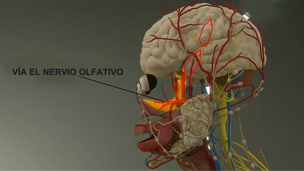 Ilustración nariz-cerebro