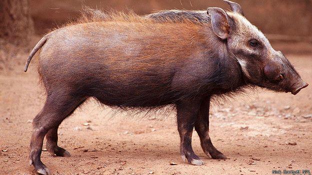 Африканская лесная свинья