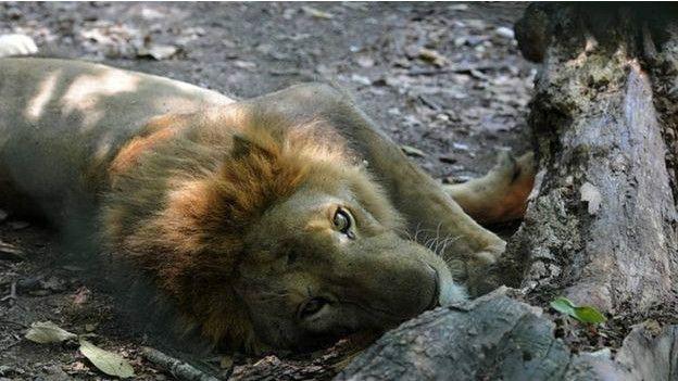 Un león de la granja de los Rosenthal.