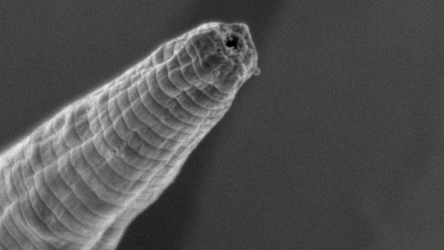 Halicephalobus mephisto. (Crédito: Gaetan Borgonie et al)