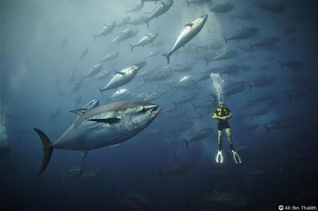 Atún azul