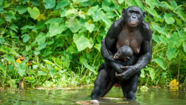 Una mamá chimpancé con su cría