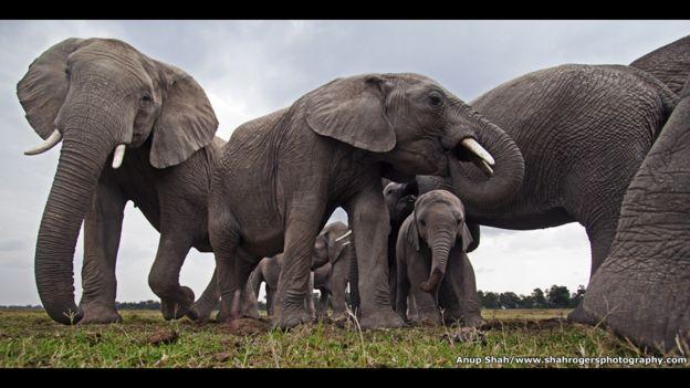 Manada de elefantes en un abrevadero de la Reserva Nacional Maasai Mara, en Kenia. Foto: Anup Shah
