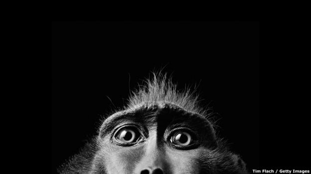 """Macaco negro"" por Tim Flach. Getty Images"