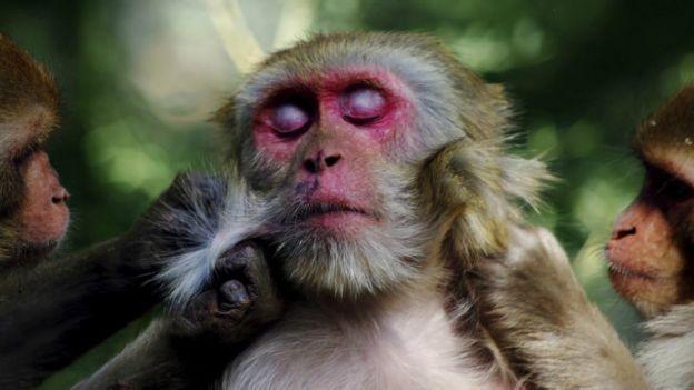 Unos monos rascándose